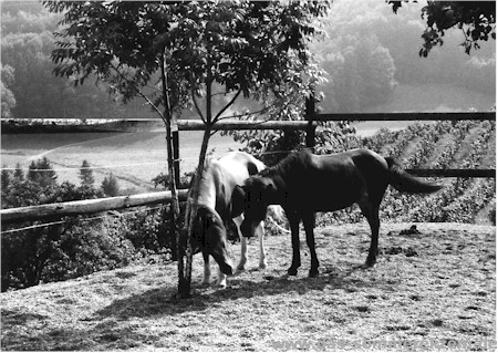 Scheuernde Pferde